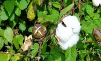 Cotton Leaf Tea