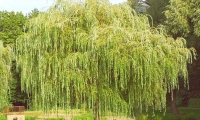 Willow and elm tea