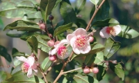 Roter Tee (Camellia sinensis)